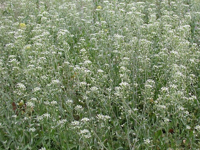 Аптечное наименование: трава пастушьей сумки - Bursae pastoris herba...
