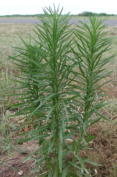 LES PLANTES UTILES AUX CHEVAUX - Page 2 Horseweed_conyza_canadensis_l_cronq001