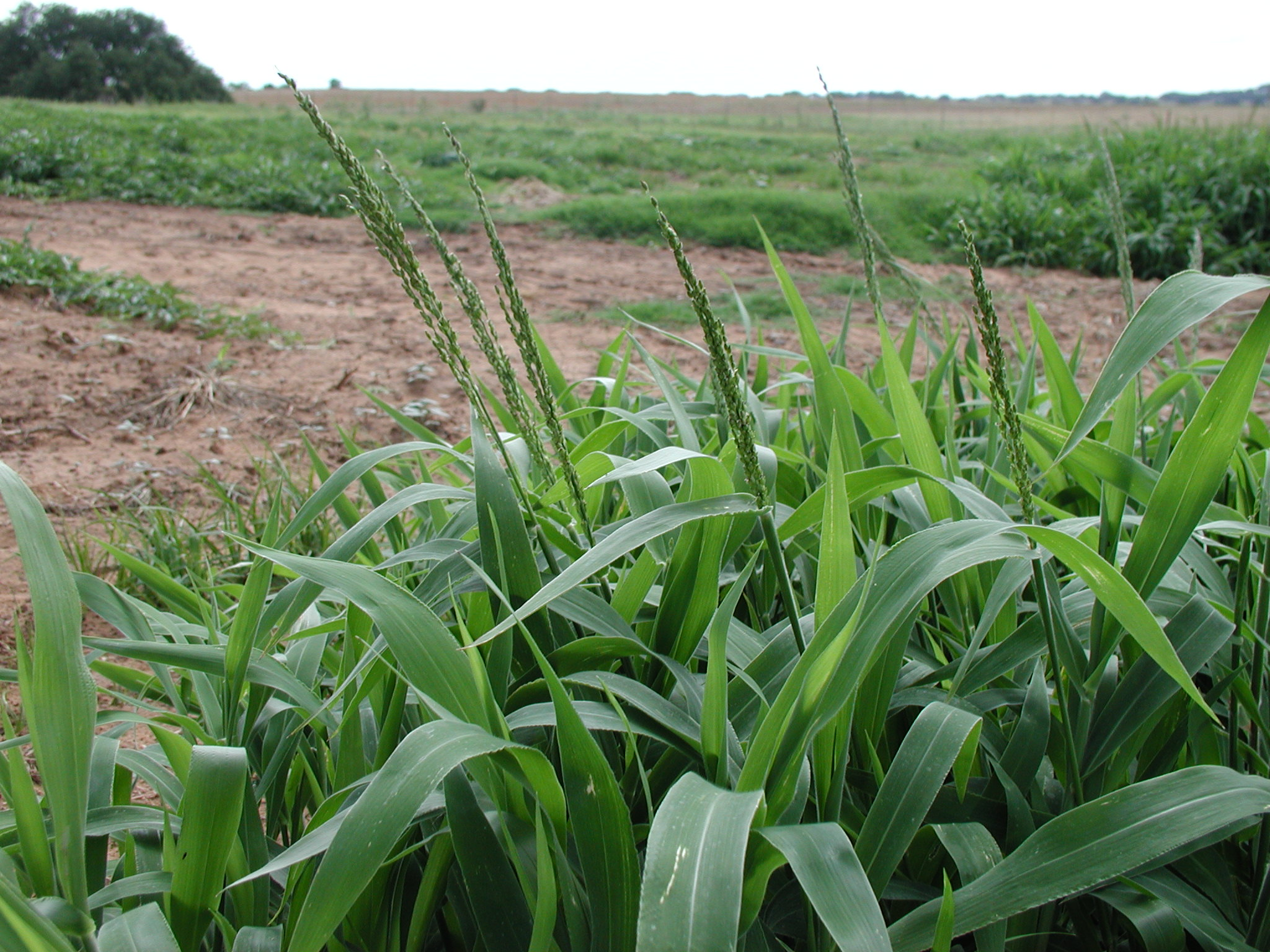 Crops Weeds Foxtail Barley Manitoba Agriculture Food And Rural PictureFoxtail Barley Seedling